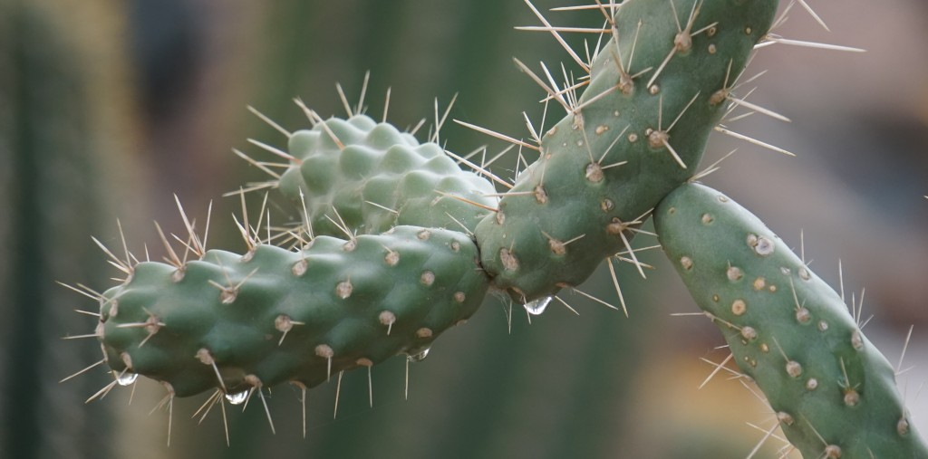 Dripping Cactus_042415