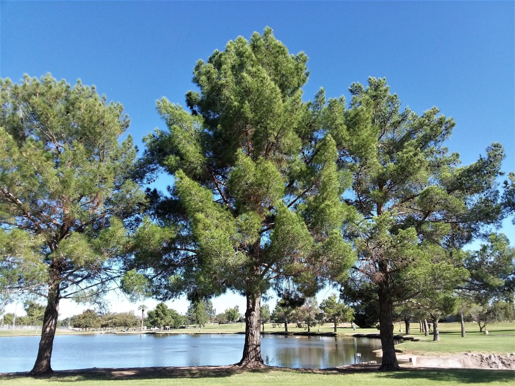 Pine_102019.jpg