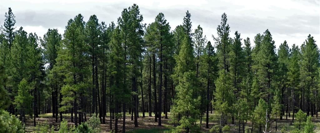 ArizonaPines_072819