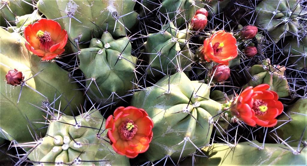BloomingCactus_031520 (2)