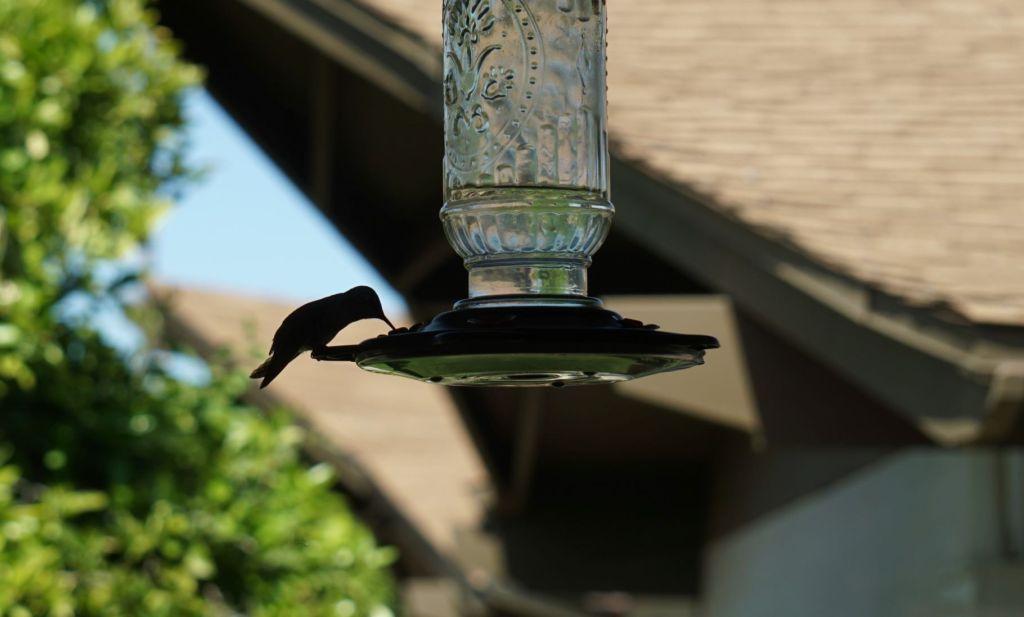 Hummingbird1_032820