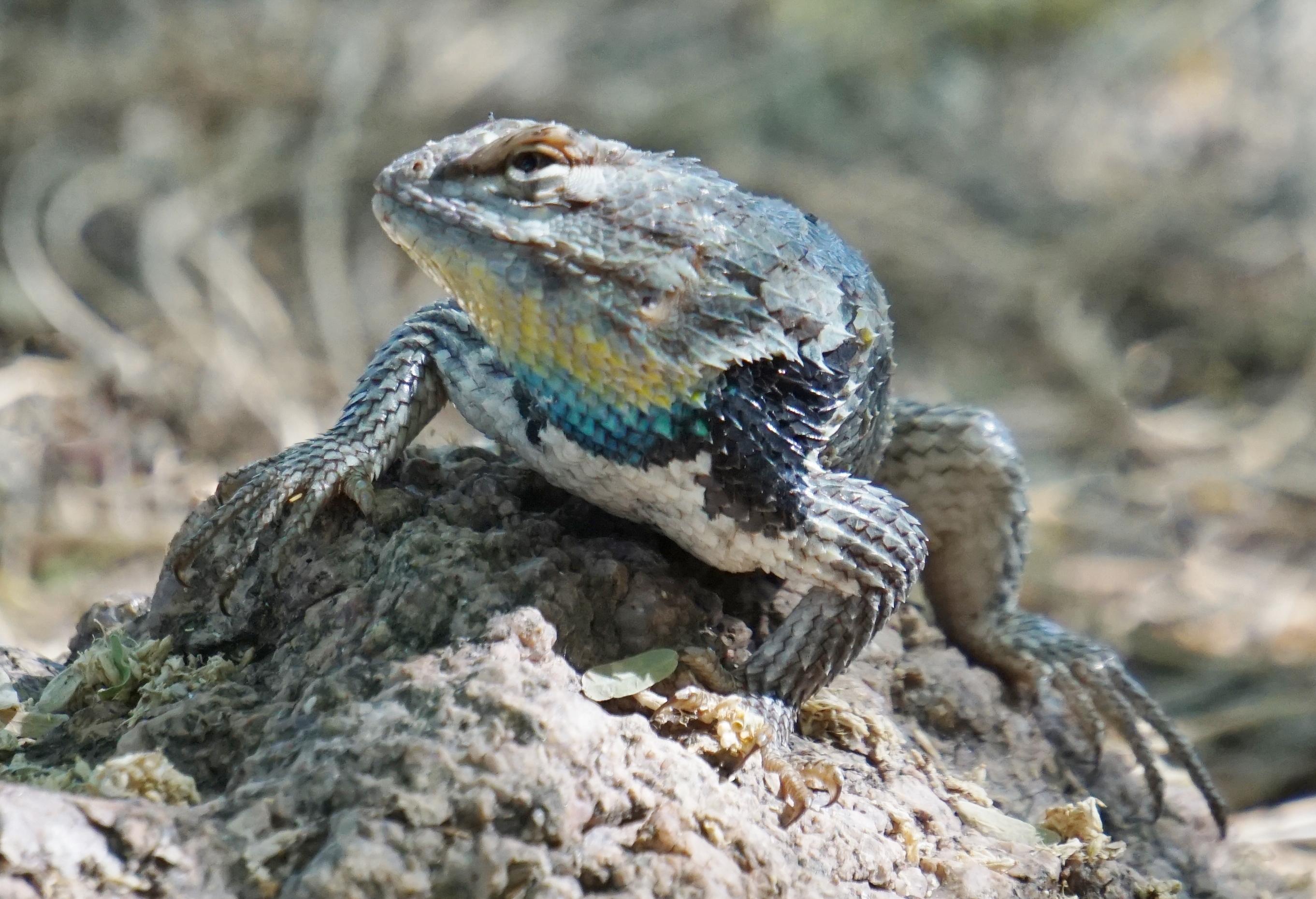 Desert Lizard_050115